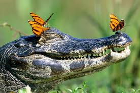 butterflies on croc
