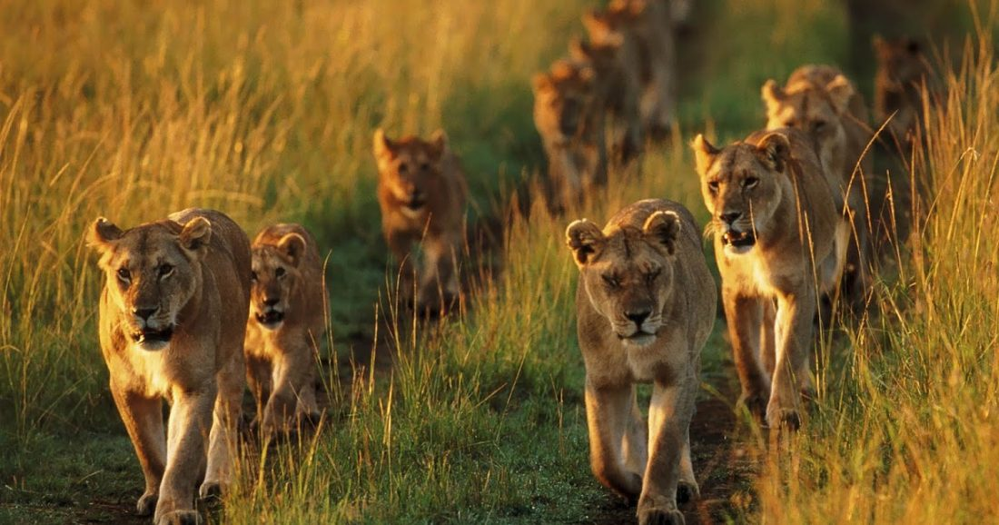 animal-wallpaper-with-a-group-of-lions